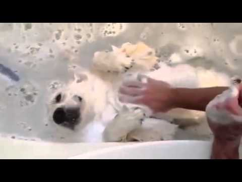 Golden Retriever Dog Loves Baths