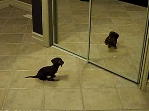 Mini Dachshund Puppy Vs. Mirror