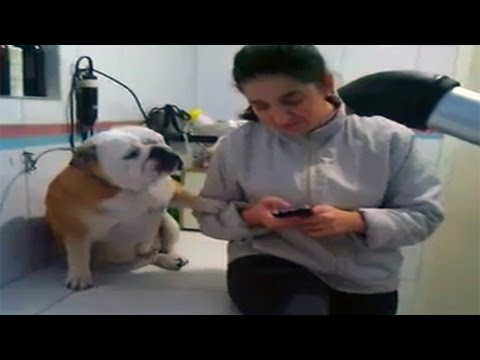 Bulldog Demands Attention From Texting Owner
