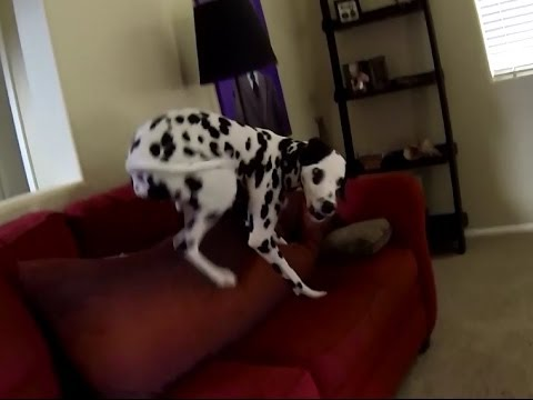 Dalmatian's Crazy Routine After Shower