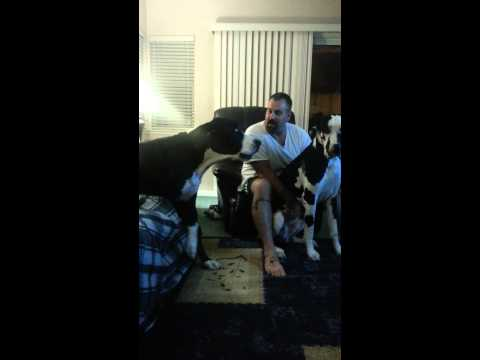 Watch This Spoiled Great Dane Throw A Temper Tantrum When His Brother Gets More Attention