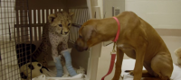 Dog Waits Beside Its Cheetah Friend's Bedside After It Has Leg Surgery