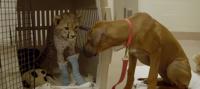 Dog Waits Beside Its Cheetah Friend's Bedside After It Has Leg Surgery