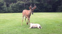 Stop What You're Doing And Watch This Adorable French Bulldog Play With A Buck