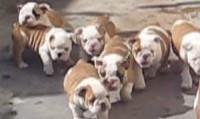 Bulldog puppies chasing mom