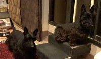 Scottish Terriers listening to cat sounds