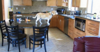 Genius BEAGLE Strategically Moves Chair, Climbs on Counter, Opens Oven and Steals CHICKEN Nuggets