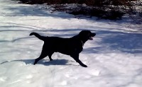 Black Lab dog body slides in the snow