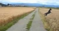 Happy dog jumps through field like a kangaroo