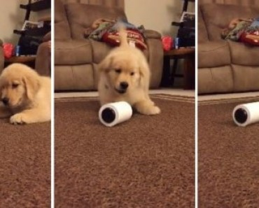 Puppy Freaks Out Over a Simple Lint Roller