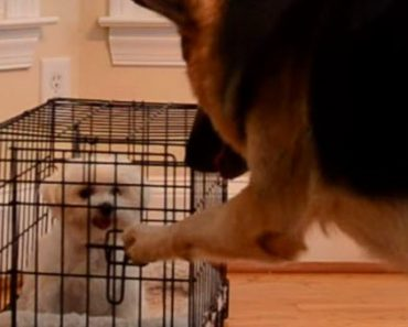 Hidden Camera Catches Puppy Escaping Her Crate Every Time