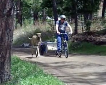 Great Dane Takes A Ride In A Cart Behind A Bike