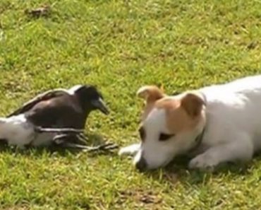 Magpie and Dog Playing Together