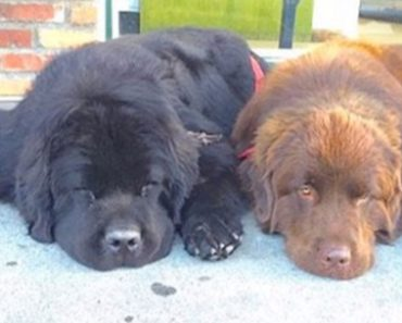 The Two Huge Dogs Are The Biggest Babysitters