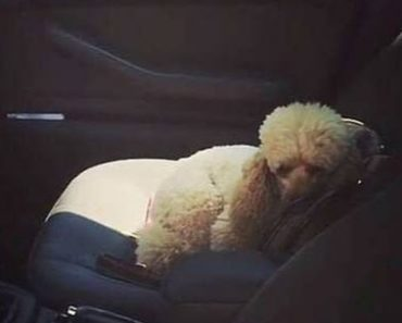 Cute Poodle Refuses To Leave The Car