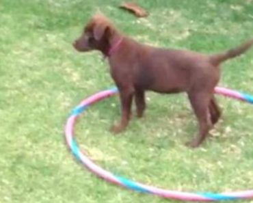Sweet Little Puppy Teaches Herself How To Hula Hoop