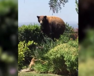 2 Small Dogs Chase After A Bear And He Jumps The Fence To Get Away From Them
