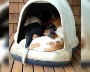 She Sees Her Dogs Sleeping In Their Dogloo But When She Turns On The Camera, They Come Pouring Out