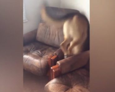 The Dog Jumped Between The Couch And Chair For A Treat And Ended Up In A Difficult Situation