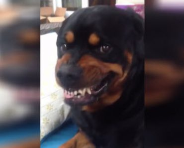 He Wants His Rottweiler To Make A Mean Face, But His Attempt Is Hilarious Instead Of Scary