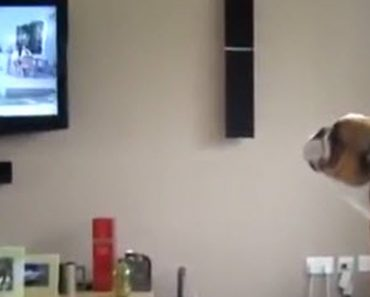 A Bulldog Does The Best Imitation When He Sees An Elephant On TV