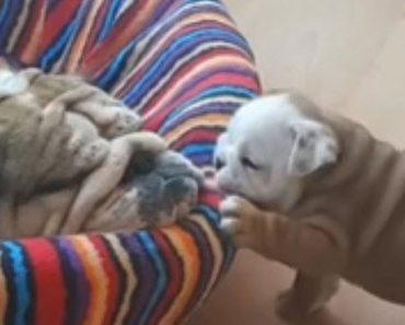 Adorable Bulldog Puppy Tries To Wake Up His Sleeping Mama
