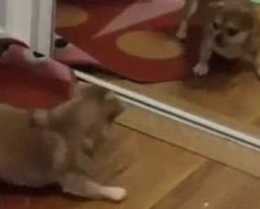 An Adorable Dog Sees Himself In The Mirror And Can't Stop Barking