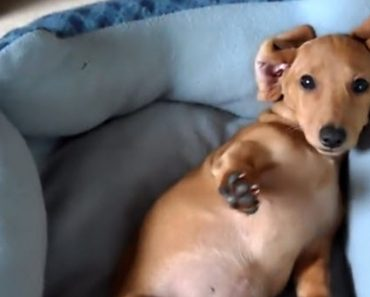 Peanut Is A Mini-Dachshund Who Is Having The Hardest Time Waking Up