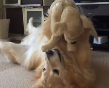 Golden Retriever Plays With His Stuffed Animal Toy In The Most Adorable Way Possible