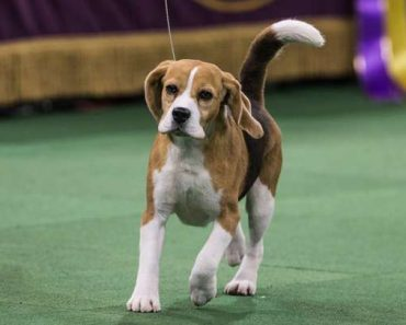 A Beagle Gets Distracted During The Dog Show And The Internet Loves It