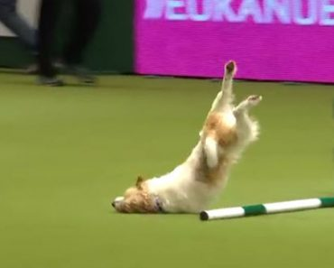 Excited Dog Has The Most Adorable Fail On The Agility Course